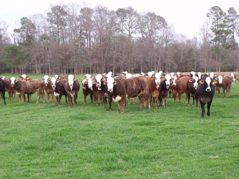 F 1 Braford Heifers Bonchasse Land And Cattle