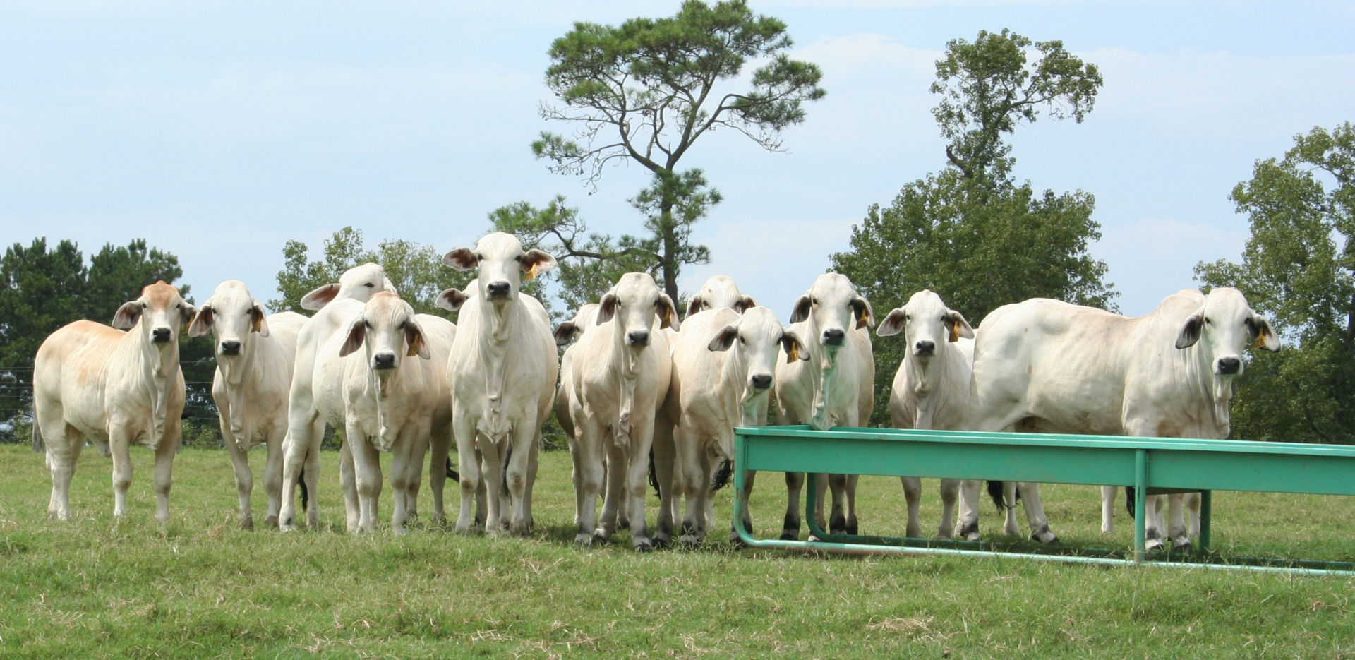 Bonchasse Sale Heifers